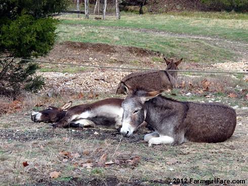 Donkey hangovers 6 - FarmgirlFare.com