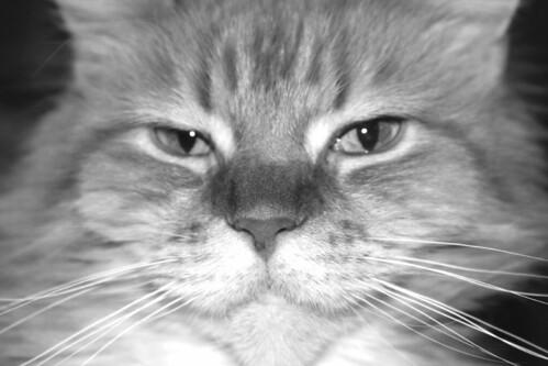 cat1080-gray