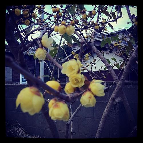 蝋梅が咲きだしてた