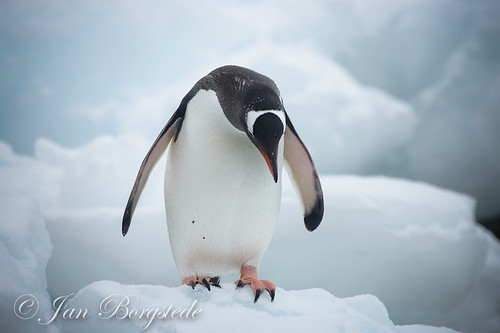 Gentoo Penguin at Antarctica by jan-borgstede