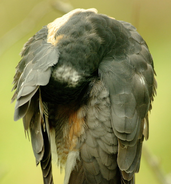 Pentax K20D.Pentax SMC-DA 300mm Lens.Male Sparrow Hawk Preening.January 7th 2012.