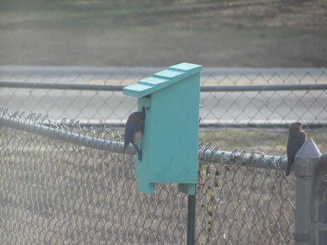 Blue Birds checking out nextbox 04