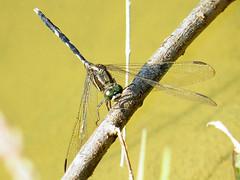 4.杜松蜻蜓,腹部纖細為其特色,以靜水域為主要棲息環境。