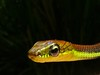 "<a href=""http://www.flickr.com/photos/berniedup/6730960013/"">Photo of Dendrelaphis formosus by BERNARD</a>"