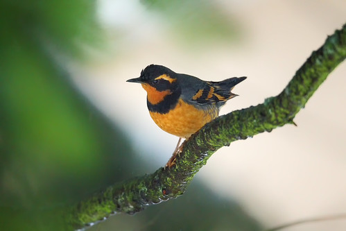 Varied Thrush II