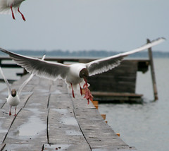 seagull food fly up