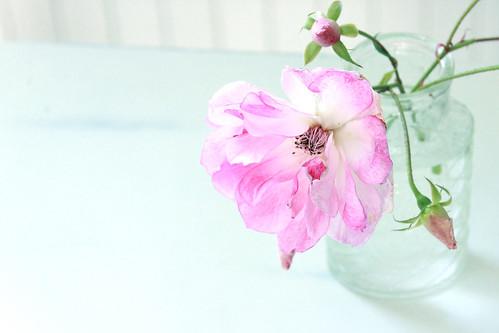 roseblued