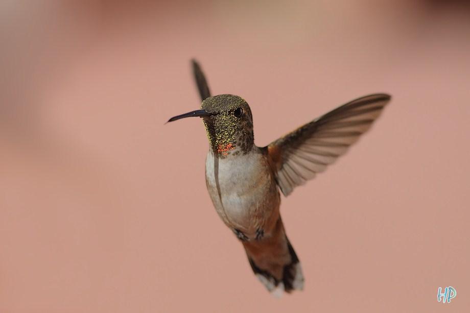 Allen's Hummingbird 020612