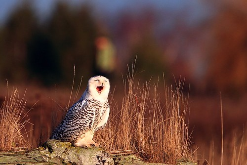 Snowy Owl by tony y. h. tong