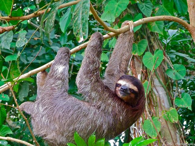 Up-Close Sloth