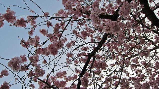 Kirschblüten-2014-Goldengelchen02