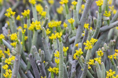 Euphorbia by andiwolfe