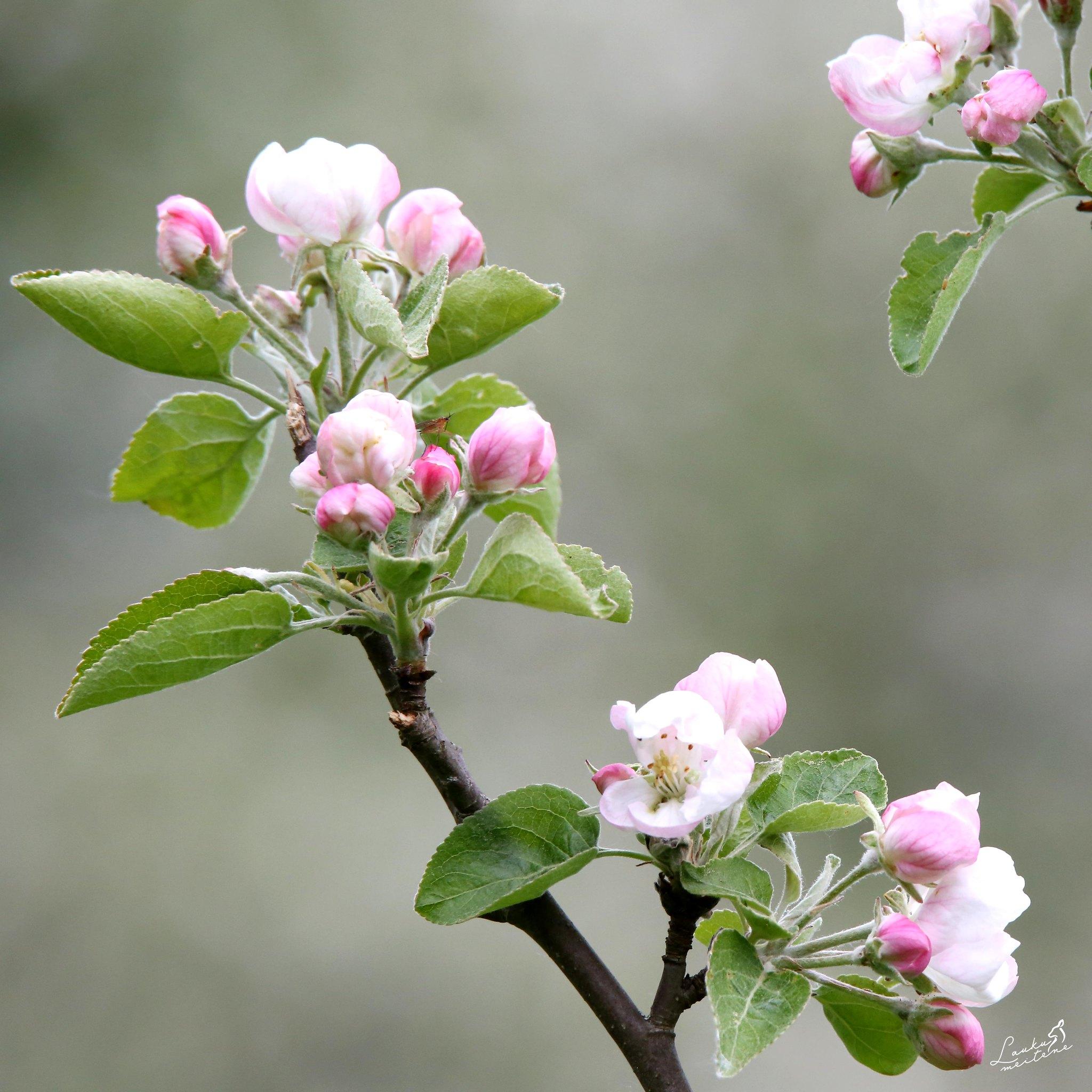 Ābele ziedos