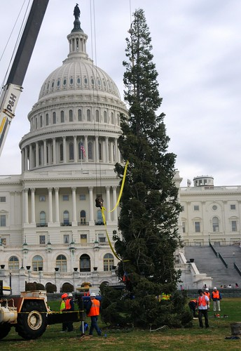 Upon arrival at the U.S. Capitol on Nov. 28, the 63-foot white fir from Stanislaus National Forest was lifted and positioned on the west front lawn. It takes approximately one week for the tree to be decorated with thousands of ornaments and lights, and the tree will be lit on Dec. 6.