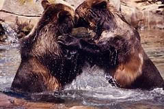 [フリー画像素材] 動物 1, 熊・クマ, 戦う・格闘 ID:201112050400