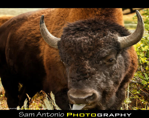 Buffaloed in Yellowstone National Park by Sam Antonio Photography