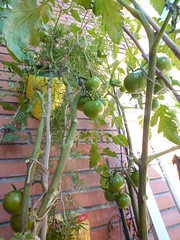 Tomates ramellet en tomatera