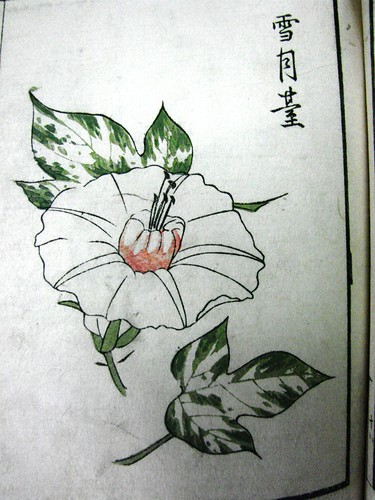 Asagao (Ipomoea nil) - Edo Period Japan by Gerris2