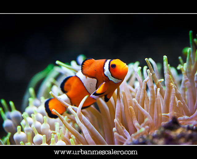 Ocellaris Clownfish - Amphiprion ocellaris