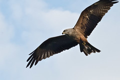 bald eagle(0.0), animal(1.0), bird of prey(1.0), eagle(1.0), wing(1.0), vulture(1.0), fauna(1.0), buzzard(1.0), accipitriformes(1.0), kite(1.0), beak(1.0), bird(1.0), flight(1.0),