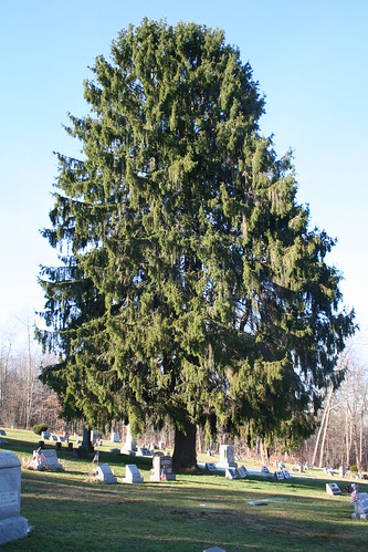 cooperstown-tree