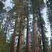 Redwoods at Mariposa Grove