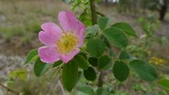 blossom(0.0), shrub(0.0), garden roses(0.0), produce(0.0), flower(1.0), rosa rubiginosa(1.0), rosa canina(1.0), wildflower(1.0), flora(1.0), rosa multiflora(1.0), rosa acicularis(1.0), rosa pimpinellifolia(1.0), rosa rugosa(1.0),