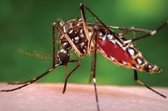 Aedes aegypti - Jom gayang Aedes