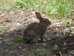 hare(0.0), animal(1.0), grass(1.0), rabbit(1.0), domestic rabbit(1.0), pet(1.0), fauna(1.0), wood rabbit(1.0), rabits and hares(1.0), wildlife(1.0),