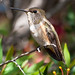 Small photo of Allen's hummingbird