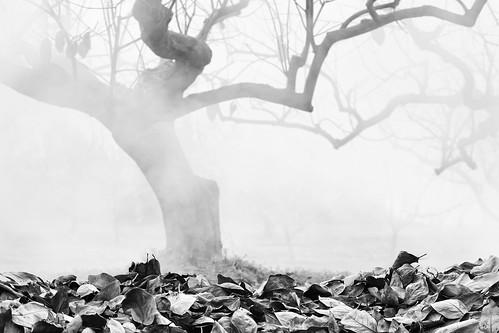 autumn blackandwhite bw fall leaves japan smoke orchard 日本 persimmon 秋 柿 岐阜 gifu persimmontree motosu 白黒 落ち葉 煙 horinji pileofleaves 岐阜県 burningleaves canon50d 葉っぱ 70200mmf4isusm 燃やす 50dcanon persimmonorchard 本巣市 柿畑 piledleaves