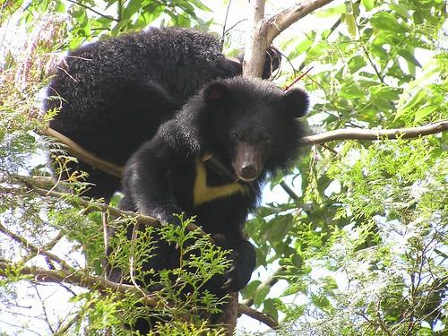台灣黑熊野外族群數十分稀少,除了人為因為威脅其生存,若再加上氣候因素,黑熊族群更顯困窘。(攝影:黃美秀)