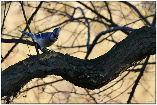 bird nature canon eos rebel kiss dof wildlife bluejay t3 curve x50 1100d