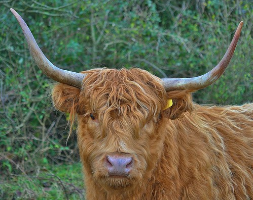 Highland Cattle Pegwell Bay  by Kinzler Pegwell