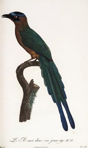 011-El Momot joven-Histoire naturelle des Oiseaux de paradis et des Rolliers.. 1806-François Levaillant