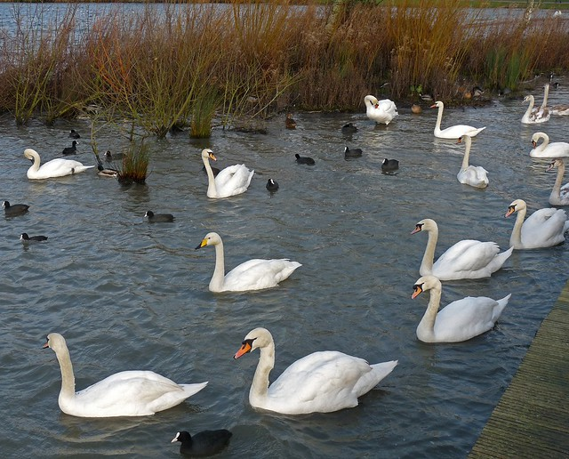 25443 - Mute Swans and Whooper Swan, Cosmeston