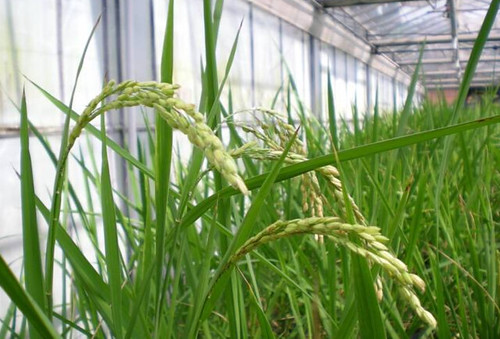 亞洲大學水稻T-DNA生技研發中心。(圖片來源:亞洲大學網站)