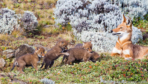 Four Tiny Wolf Pups by Burrard-Lucas Wildlife Photography