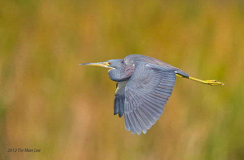 tricolored heron in flight