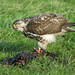 Very hungry Buzzard