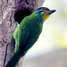 Black Browed Barbet