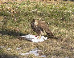 Hawk and pigeon 3