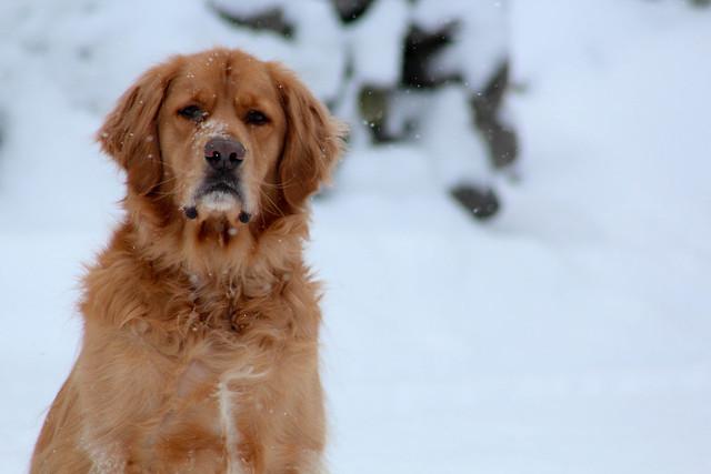 Grumpy Dog Breed