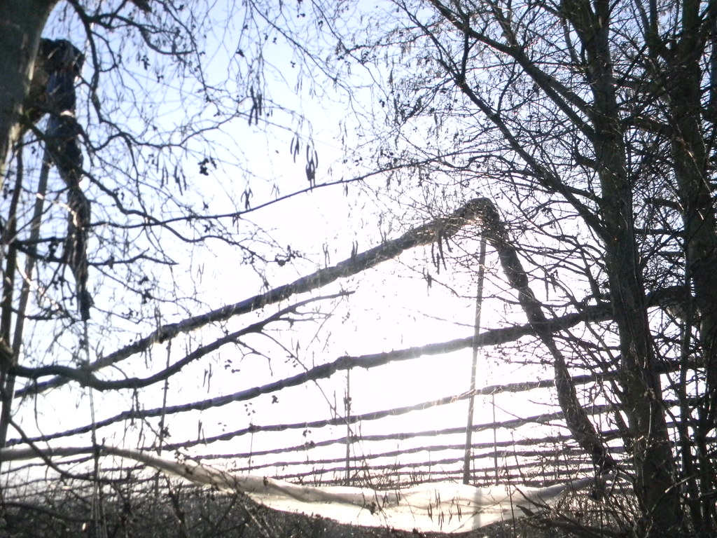 Cherry(?) Orchard Pluckley Circular Shelter belt and net supports