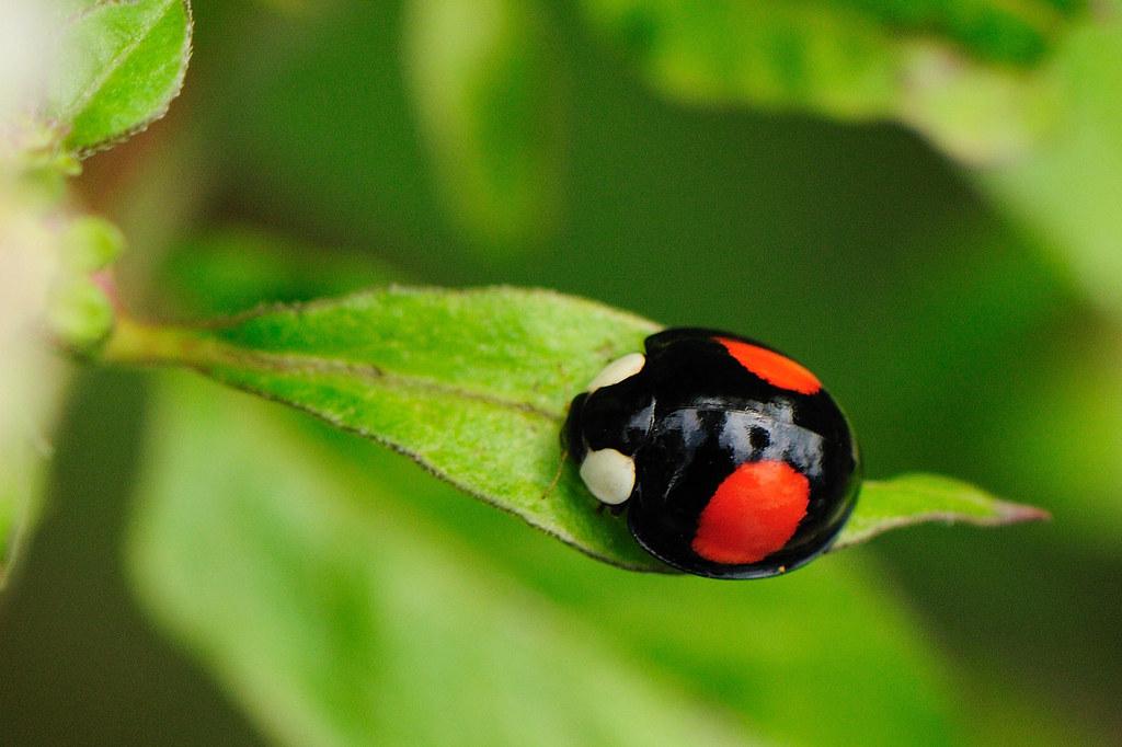 赤星瓢蟲 Lemnia saucia