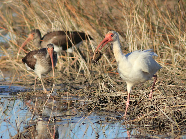 White Ibis with crayfish 20120120