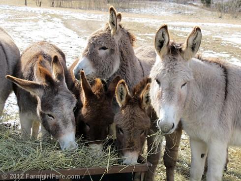 Donkey hay fest - FarmgirlFare.com