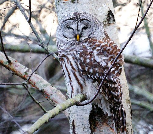 Barred Owl in the Shadow by TOTORORO.RORO