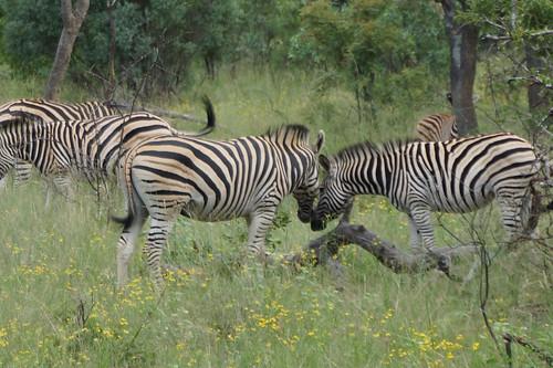 zebras 斑馬