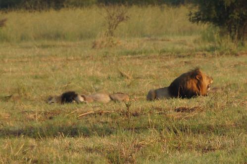 2 male lions 公獅
